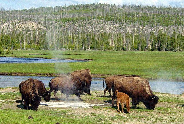 bizoni u horkých pramenů